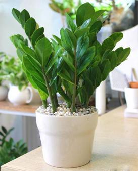 Các loại cây cảnh nếu trồng trong nhà sẽ mang lại tài lộc